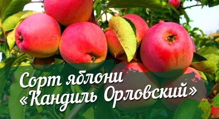 Особенности посадки и ухода за яблоней сорта чемпион