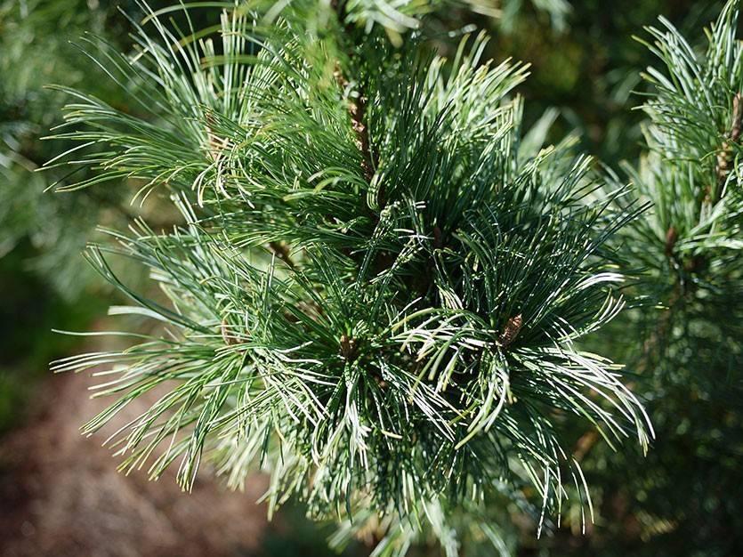 Описание кедрового стланика и особенности его выращивания