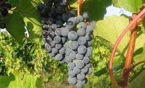 Особенности выращивания амурского винограда: полив, подкормка, борьба с вредителями