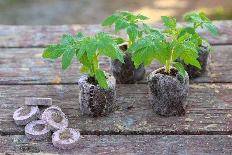 Выращивание рассады помидор в торфяных таблетках: от посева семян в домашних условиях до посадки томатов в землю, инструкция, как можно получить хороший урожай