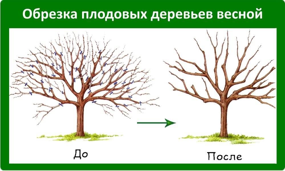 Особенности обрезки яблони весной