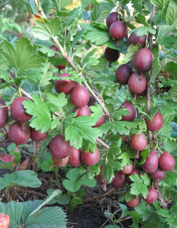 Крыжовник краснославянский: характеристика, особенности выращивания и размножения