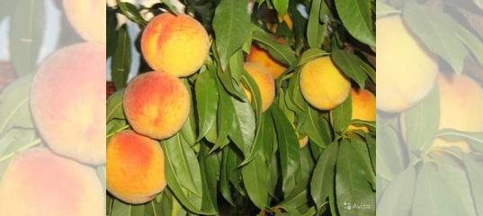 Особенности выращивания персика сорта сочный