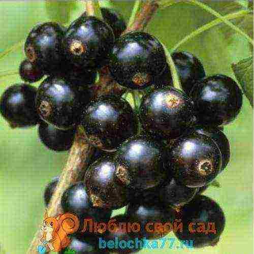 Сорт чёрной смородины вернисаж: особенности, вкусовые характеристики