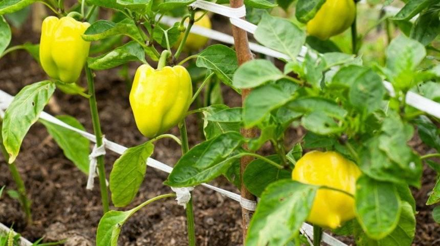 Сладкий перец: лучшие сорта и гибриды
