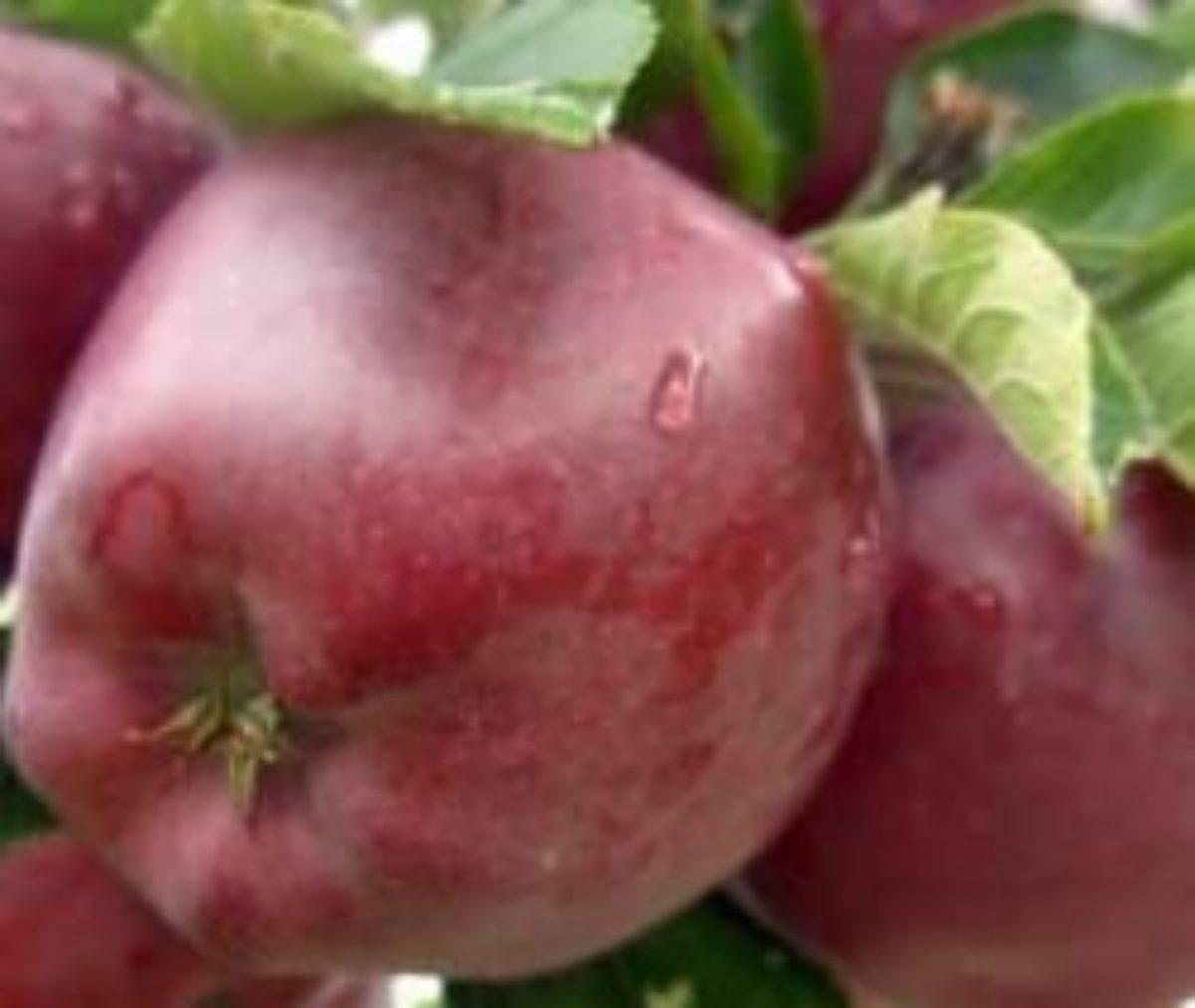 Яблони «ред делишес»: описание сорта и секреты выращивания