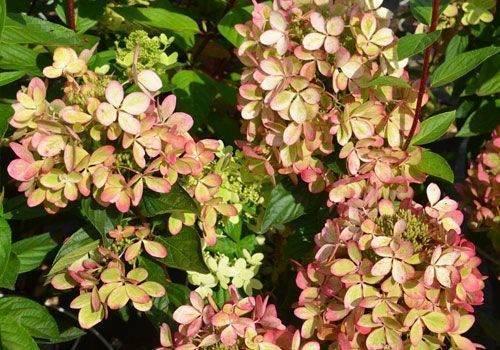 Гортензия метельчатая «грандифлора»: описание, посадка и уход