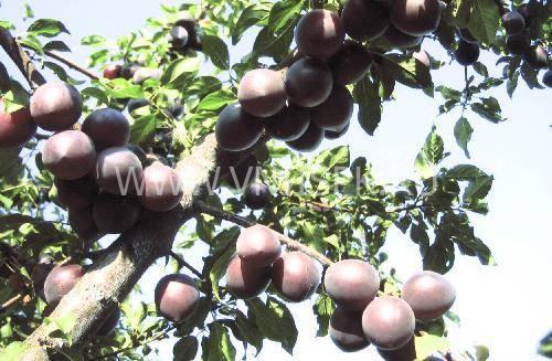 Черный абрикос сорта — черный бархат: описание и выращивание