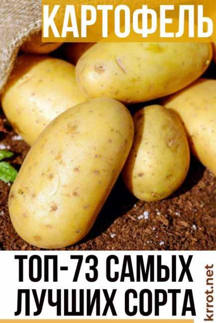 Картофель славянка: описание и характеристика, отзывы