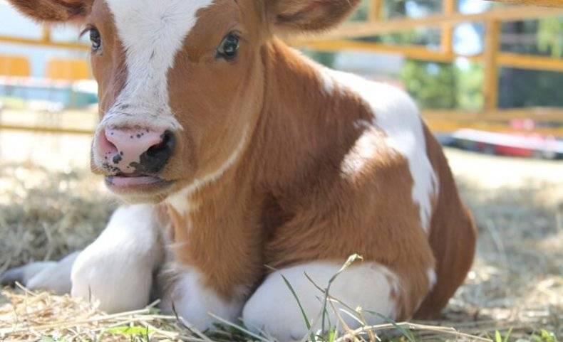 Понос у коровы: что делать?