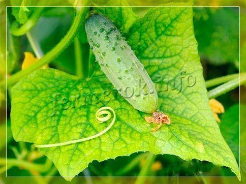 Почему сохнет жимолость в саду: 3 болезни и 3 вредителя, их профилактика и правила ухода за растением