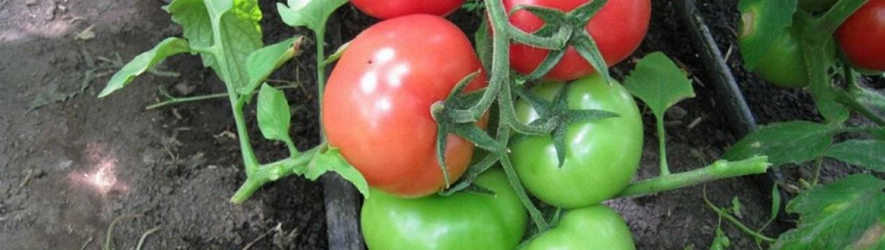 Томат иришка f1 — описание сорта, фото, урожайность и отзывы садоводов