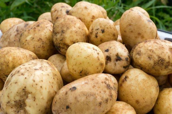 Тонкости выращивания, описание и характеристика картофеля сорта удача