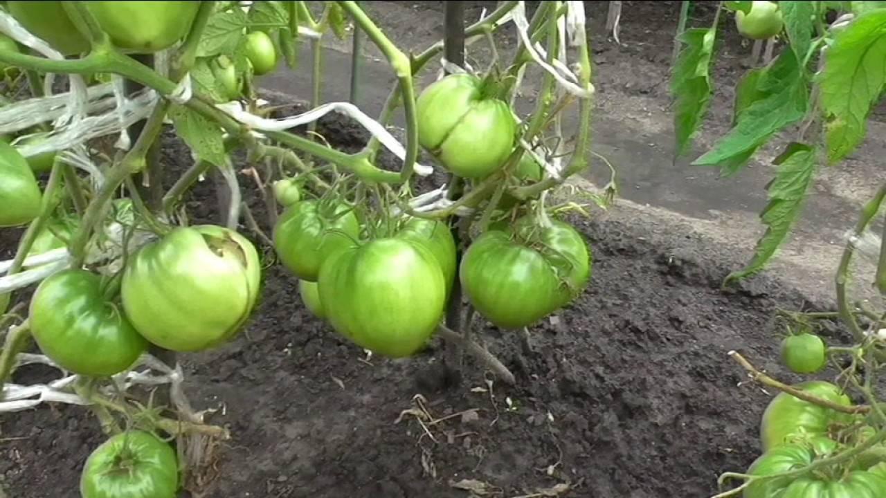 Томат пудовик: прекрасный салатный сорт для любого климата