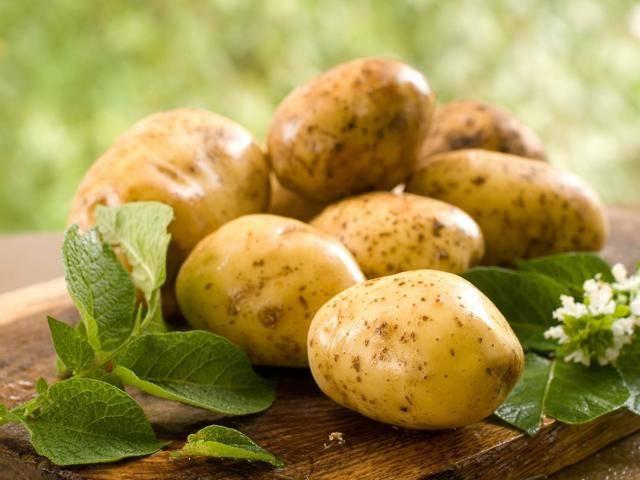 Картофель лорх: характеристика, урожайность, отзывы