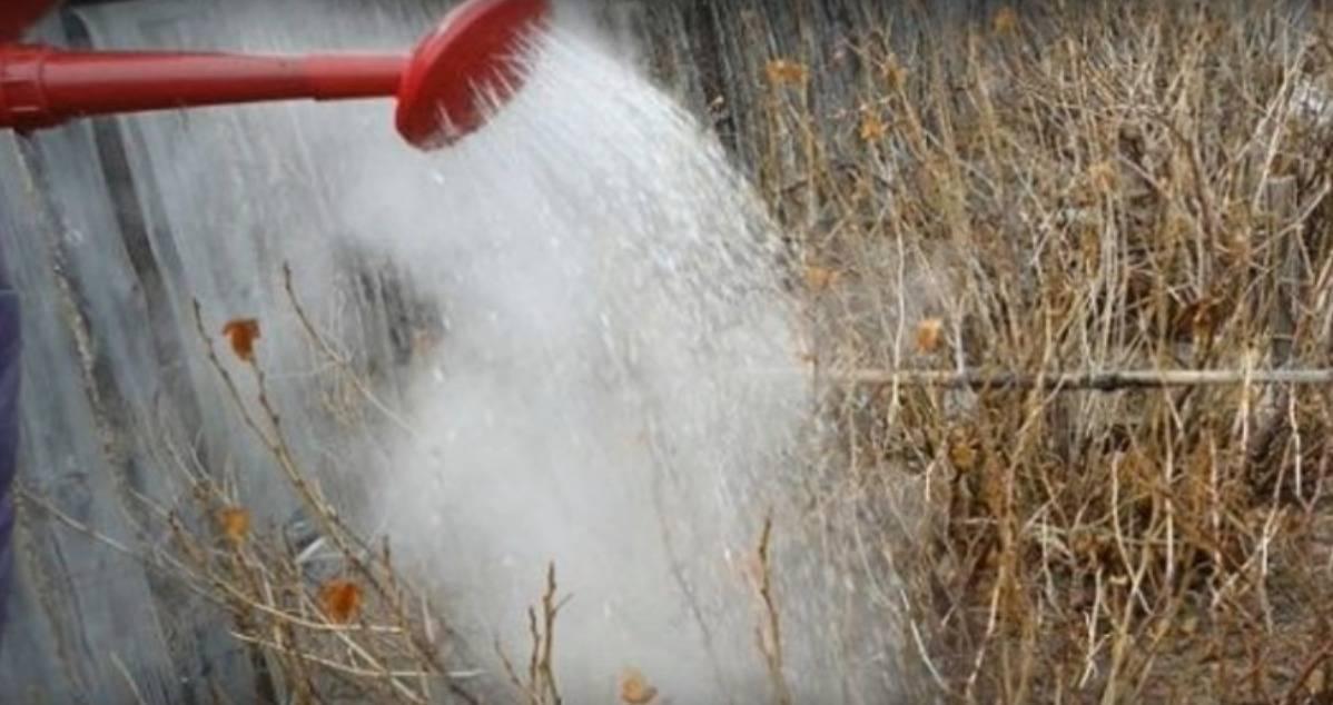 Обработка кустов смородины кипятком, сроки и способы полива
