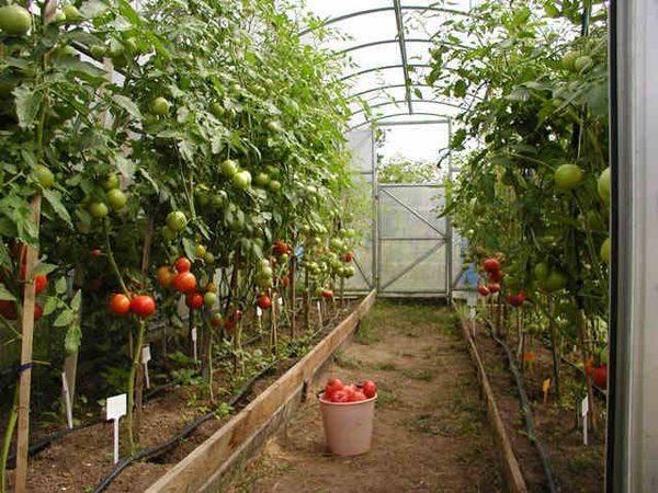 Для новичков: сроки высадки в теплицу и в открытый грунт - огород