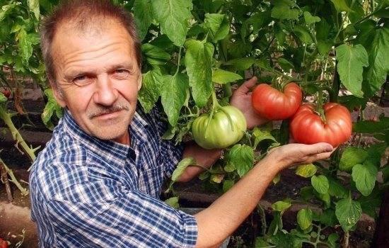 Сорта помидор для открытого грунта и теплиц для сибири