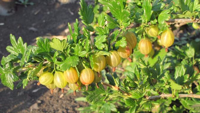 Крыжовник золотистый: характеристика, особенности выращивания, размножения