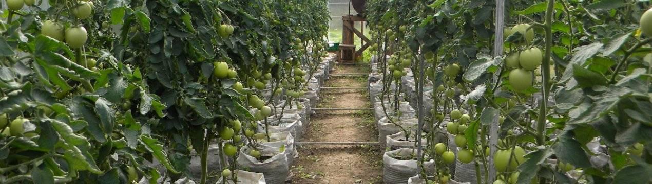 Высадка рассады помидор в открытый грунт в мае 2020 года проводится по лунному календарю