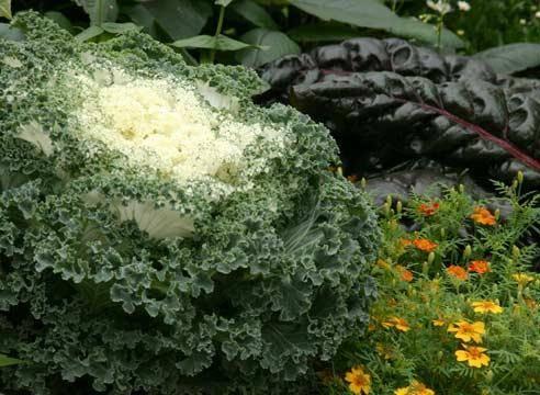 Выращиваем декоративную капусту:рекомендации по уходу