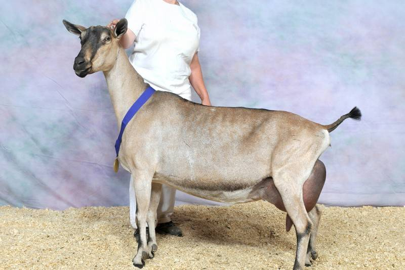 Англо-нубийская порода коз — особенности разведения