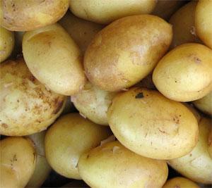Картофель гала: описание и характеристика сорта,уход,отзывы