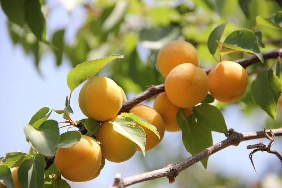 Урожайный сорт абрикос россиянин
