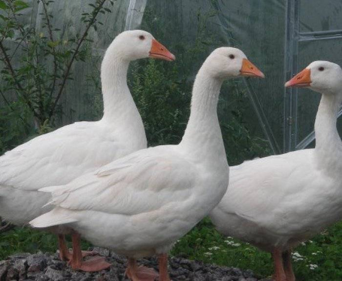Крупная серая порода гусей: описание, фото, содержание, отзывы