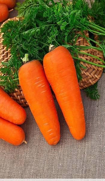 Среднепоздний сорт моркови осенний король