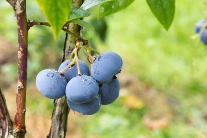 Голубика блюголд — описание и особенности сорта