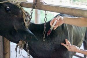 Как быстро определить и вылечить кетоз у коров?