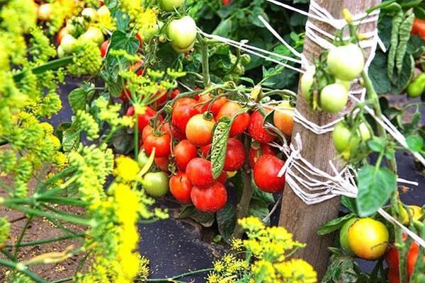 Помидоры сорта дубрава – гарантированный ранний урожай