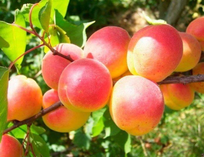 Описание сорта абрикоса саратовский рубин