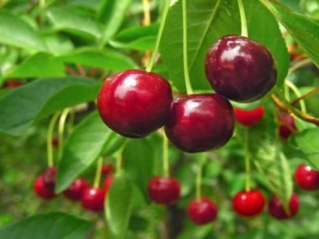 Вишня «радонеж»: особенности выращивния и уход
