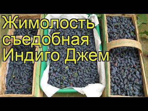 Жимолость сорта изюминка: характеристика и особенности выращивания