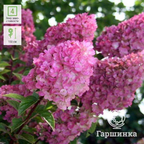 Гортензия метельчатая сандей фрайз hydrangea paniculata «sundae fraise»