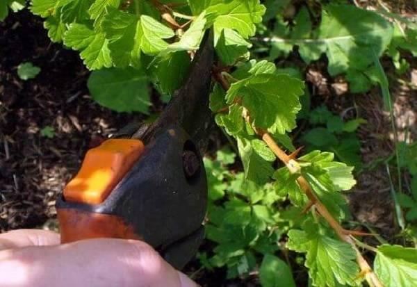 Как заставить грушу цвести и плодоносить?