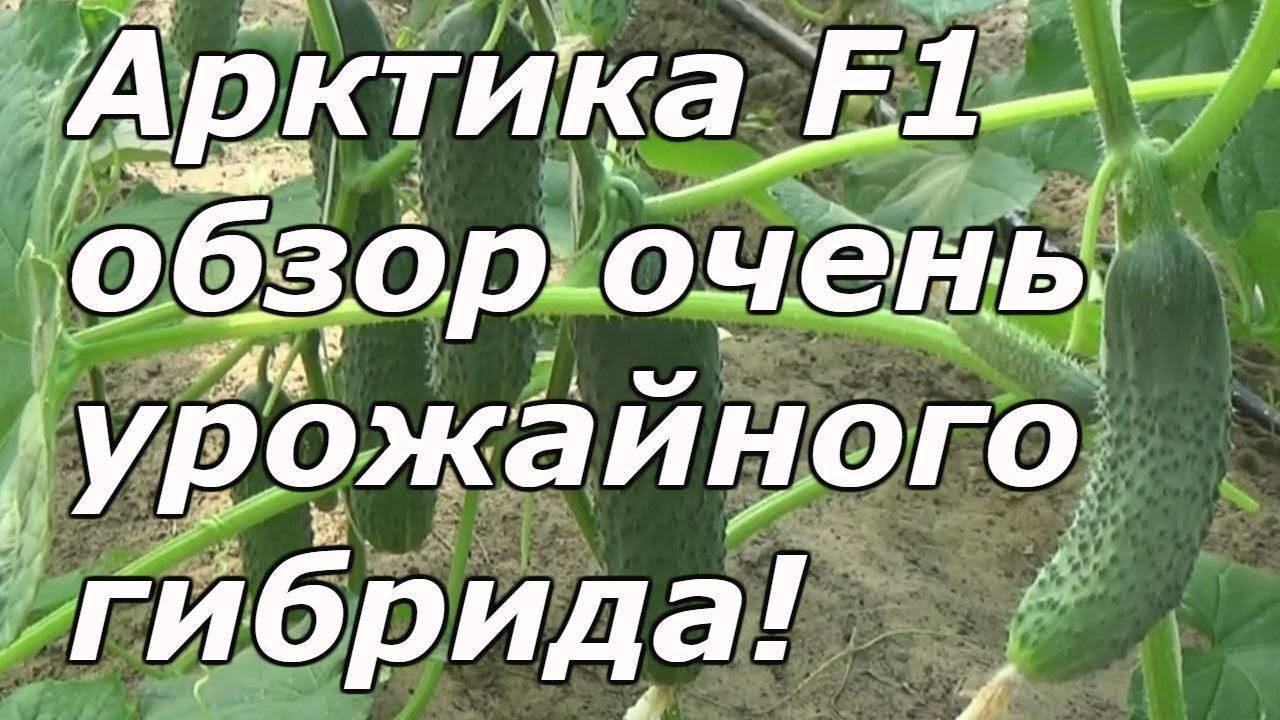 Огурец щедрик f1: описание, отзывы, фото, урожайность, посадка и уход