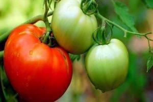 Сладковатый гигант с отсутствием недостатков — томат любимый праздник: подробное описание сорта