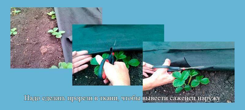 Выращивание клубники на урале — особенности и советы