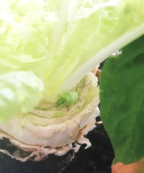 Пекинская капуста – выращивание в домашних условиях с соблюдением правил агротехники