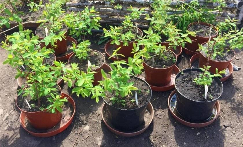 Посадка жимолости весной саженцами: пошаговая инструкция
