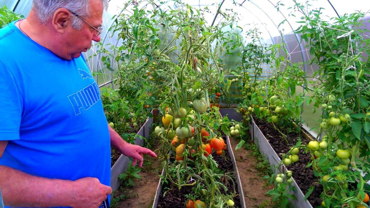 Какие сорта помидоров лучше сажать на урале и когда: обзор гибридов с ранними сроками урожая, а также выращивание томатов в теплице и в открытом грунте
