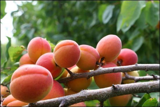 Абрикос водолей: описание и характеристики сорта, выращивание и размножение