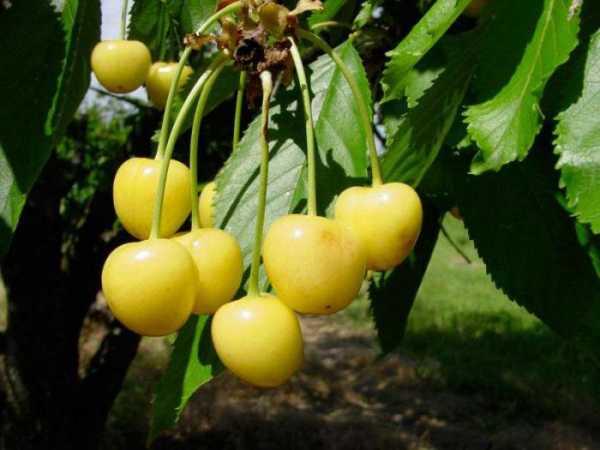 Лучшие сорта желтой черешни с фото и описанием