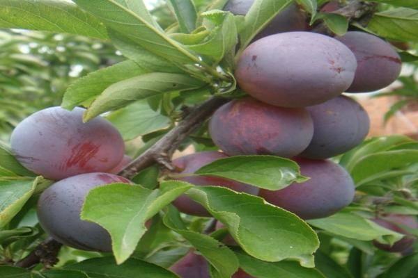 Описание сорта сливы маньчжурская красавица, сорта опылители и выращивание