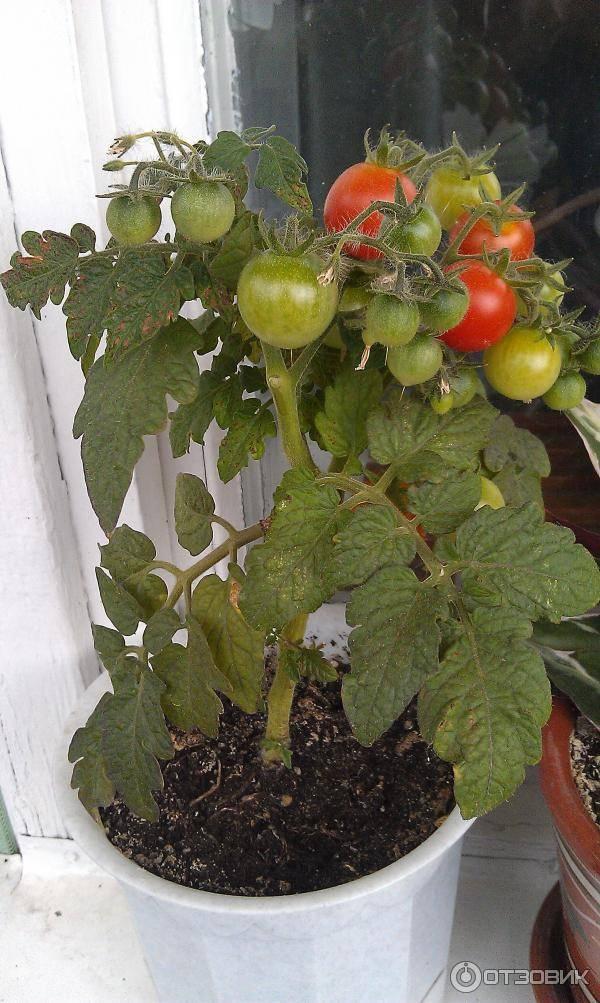 Как выращивать томат «балконное чудо»?