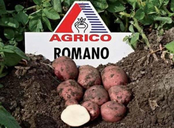 Картофель романо