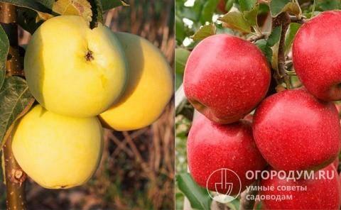 Сорт яблони елена – описание, фото